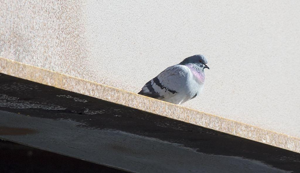 Rock Pigeon Pentax K-5 + Sigma 150-500@500mm 1/1250sec., ƒ/8.0, ISO 1250