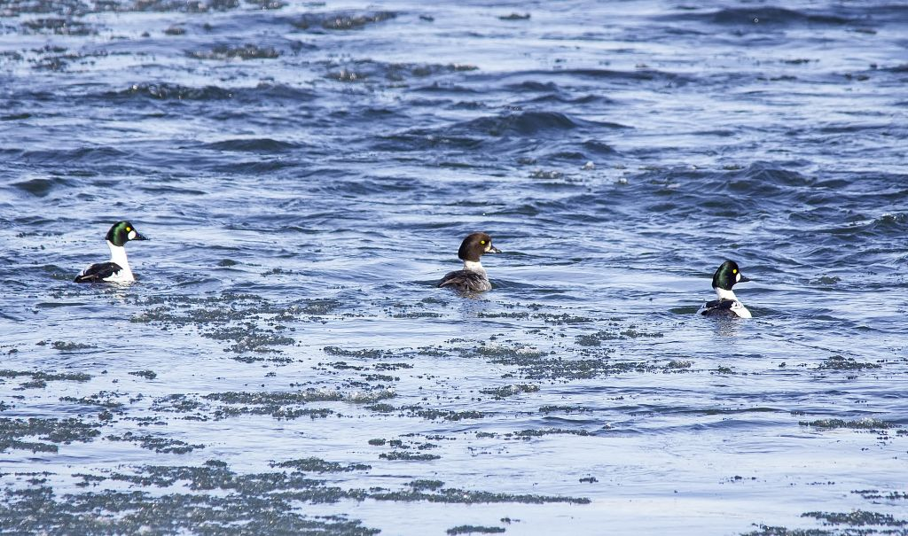 Common (left, right) and immature Barrow's (middle) Goldeneye Pentax K-5 + Sigma 150-500@500mm 1/1250sec., ƒ/8.0, ISO 1600