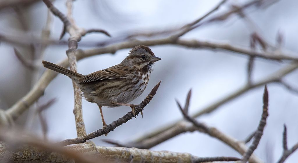 Song Sparrow Pentax K-5 + Sigma 150-500@500mm 1/800sec., ƒ/8.0, ISO 1600