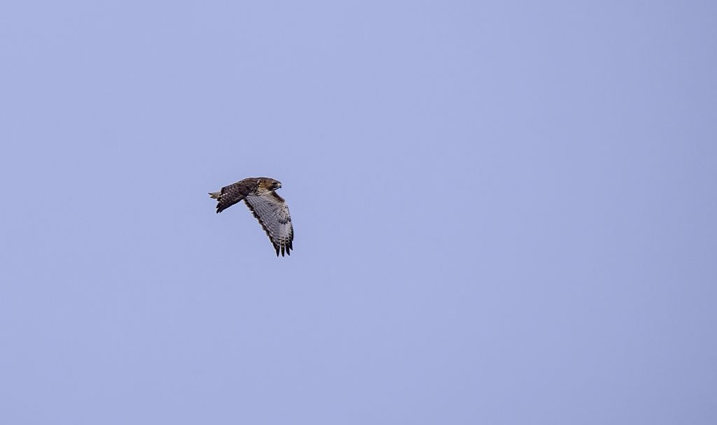 Red-tailed Hawk in flight Pentax K-5 + Sigma 150-500@500mm 1/1000sec., ƒ/8.0, ISO 200
