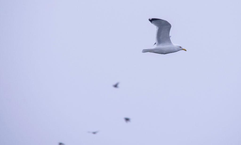 Herring Gull Pentax K-5 + Sigma 150-500@500mm 1/500sec., ƒ/9.0, ISO 400