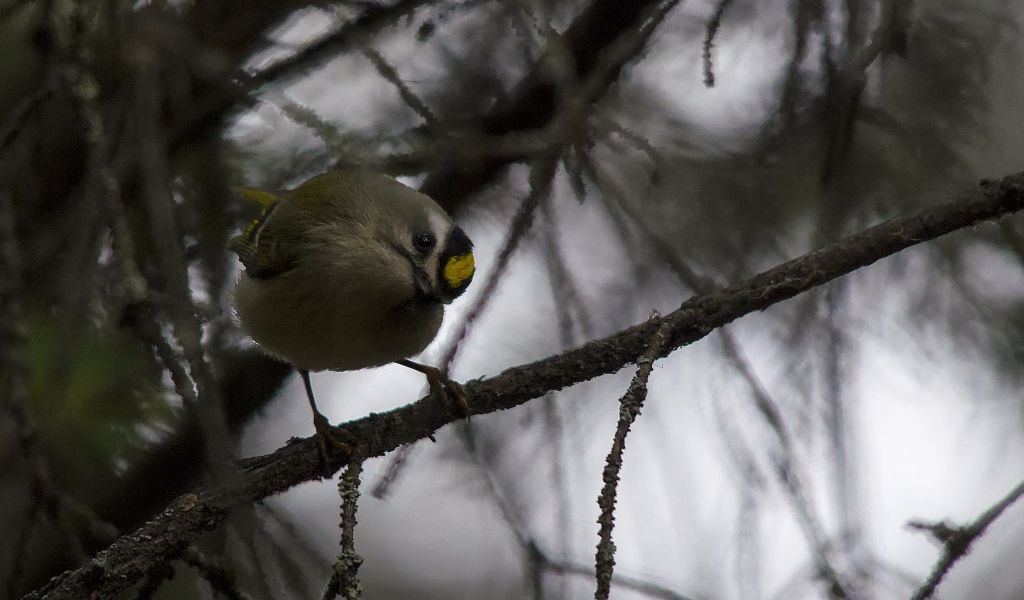 Golden-crowned Kinglet Pentax K-5 + Sigma 150-500@500mm 1/800sec., ƒ/6.3, ISO 3200