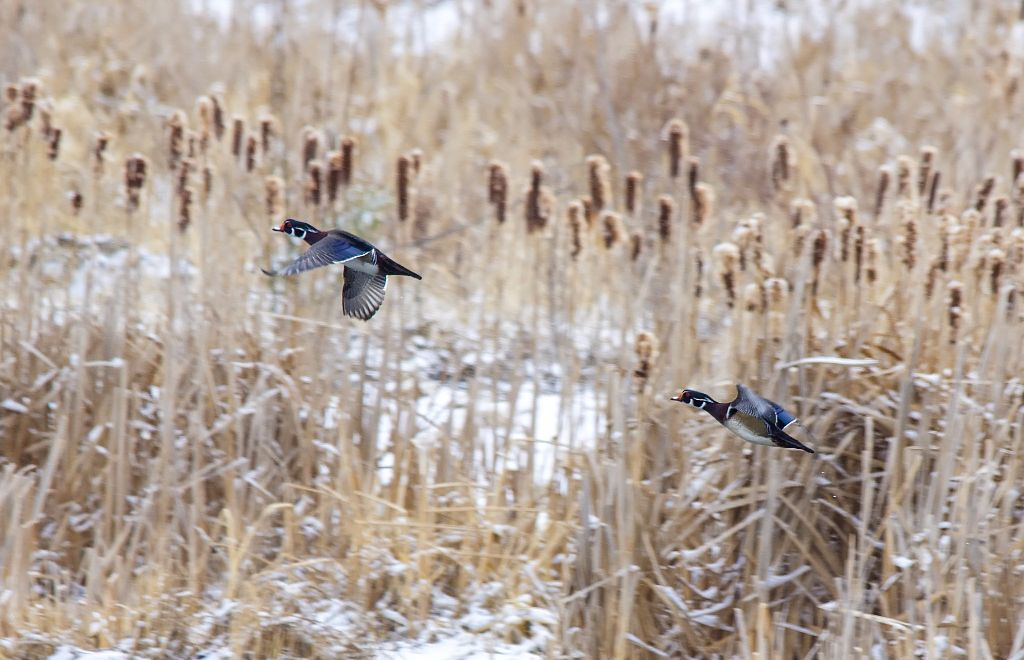 Wood Ducks in flight Pentax K-5 + Sigma 150-500@500mm 1/800sec., ƒ/8.0, ISO 800