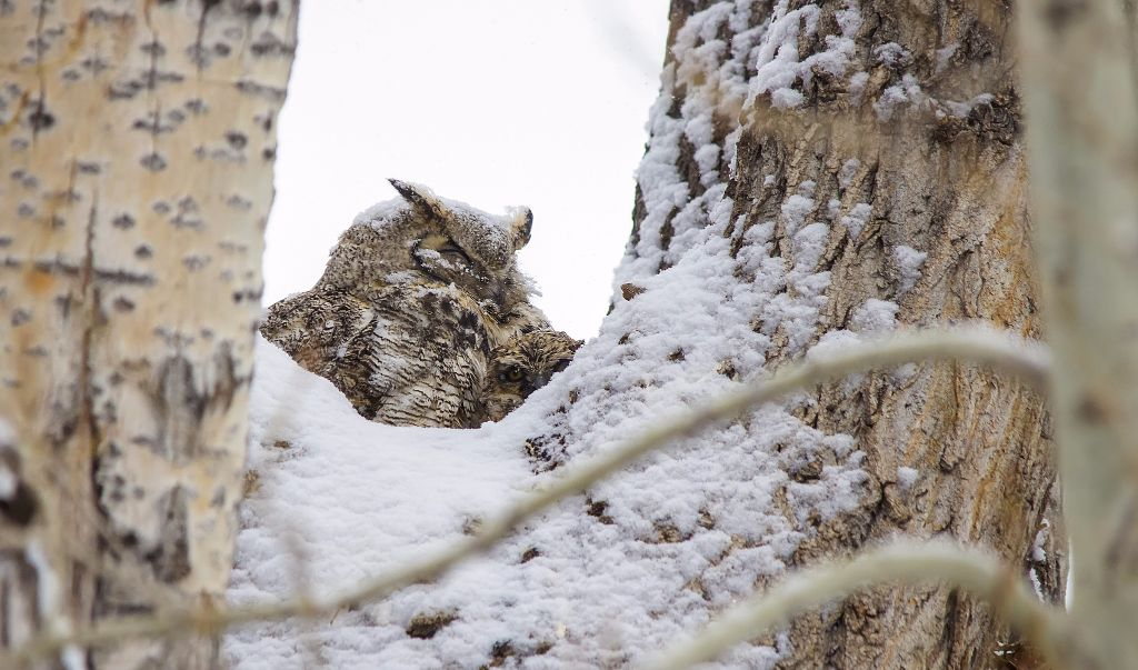 Great Horned Owl and owlet Pentax K-5 + Sigma 150-500@500mm 1/500sec., ƒ/6.3, ISO 1600