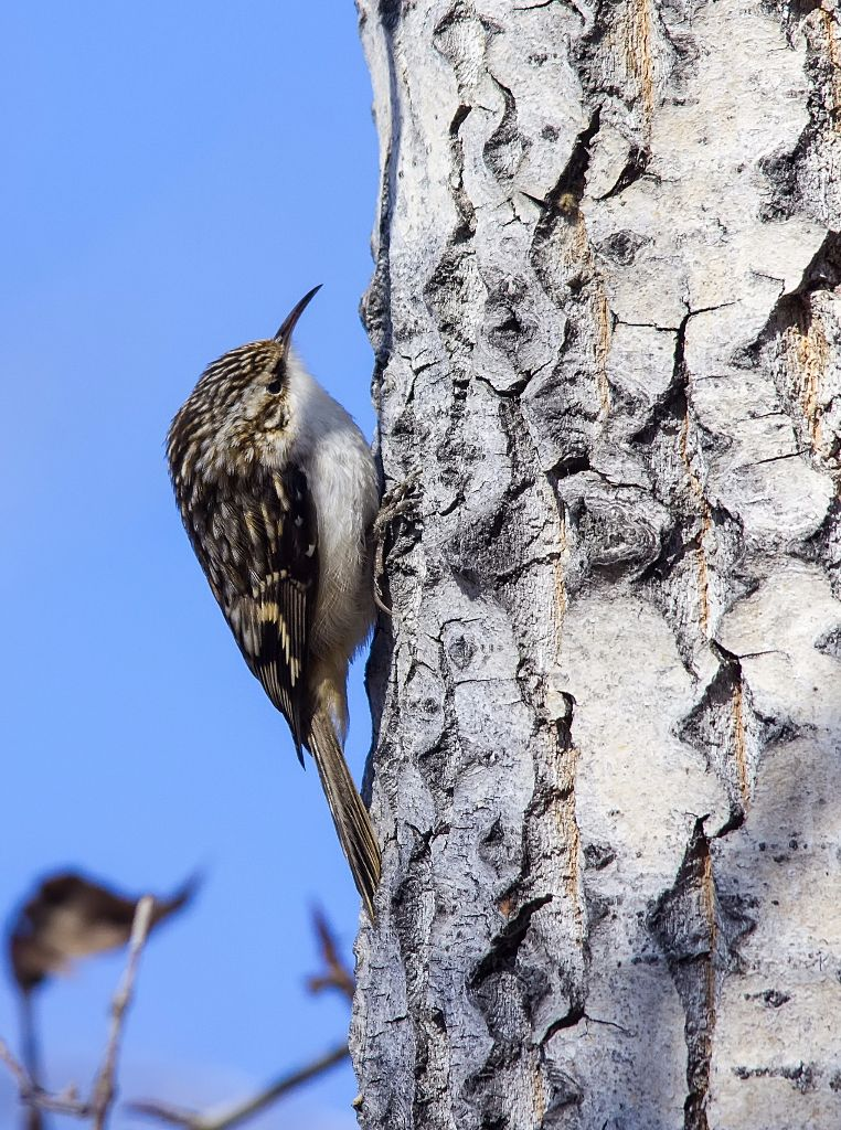 Brown Creeper Pentax K-5 + Sigma 150-500@500mm 1/1250sec., ƒ/8.0, ISO 1250