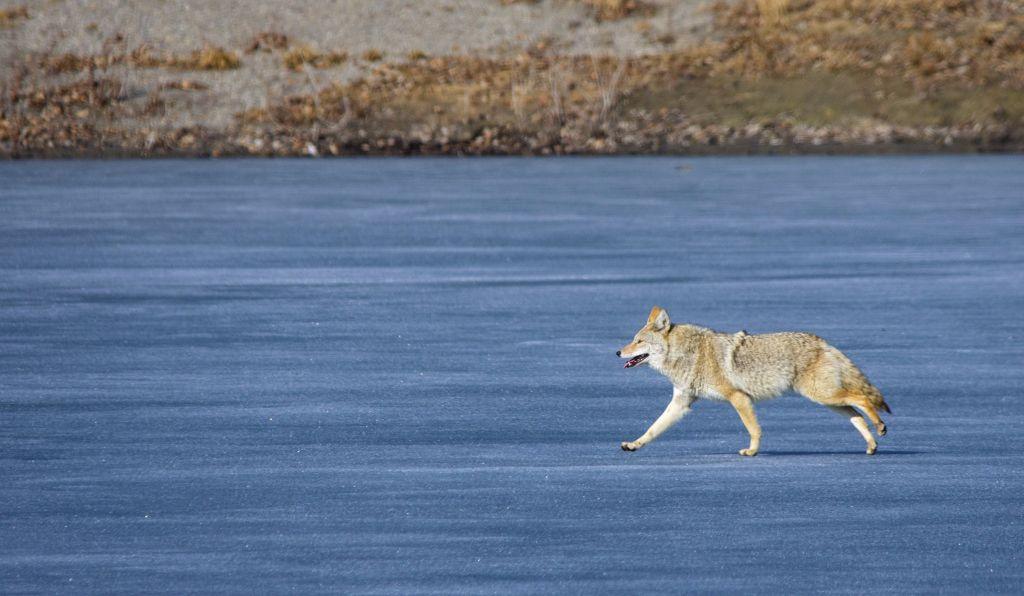 Coyote Pentax K-5 + Sigma 150-500@500mm 1/1250sec., ƒ/8.0, ISO 500