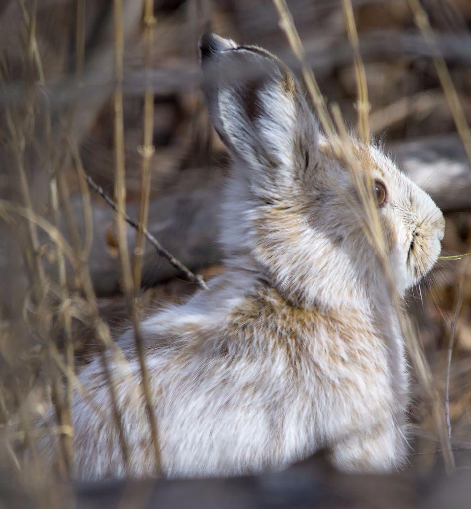 Snowshoe Hare Pentax K-5 + Sigma 150-500@500mm 1/800sec., ƒ/8.0, ISO 640