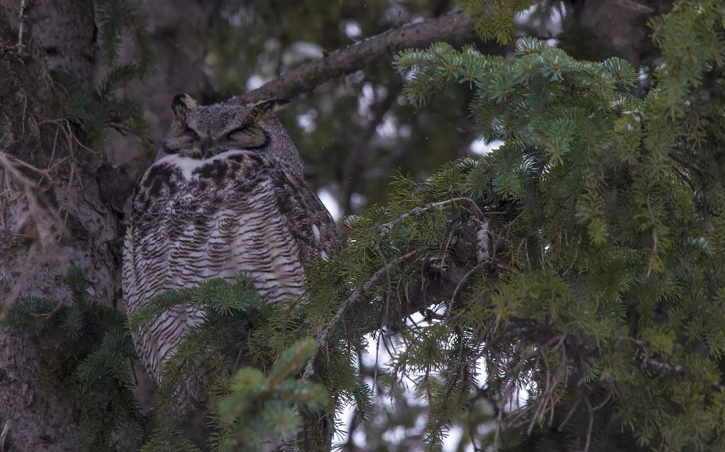 Great Horned Owl and owlet Pentax K-5 + Sigma 150-500@500mm 1/500sec., ƒ/8.0, ISO 1600
