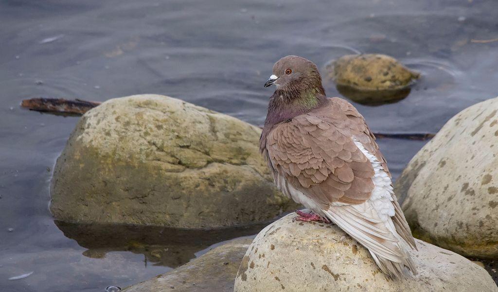Rock Pigeon Pentax K-5 + Sigma 150-500@500mm 1/1000sec., ƒ/8.0, ISO 1600