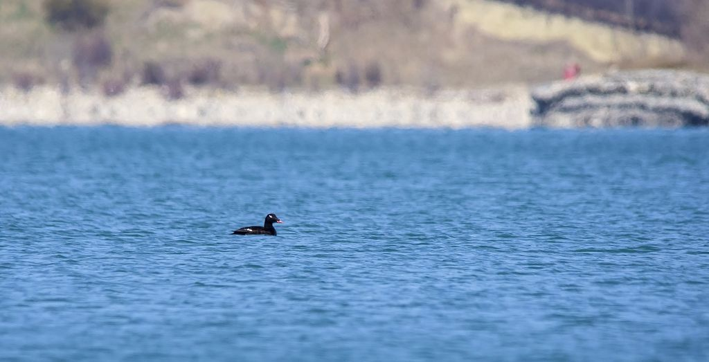 White-winged Scoter Pentax K-5 + Sigma 150-500@500mm 1/1250sec., ƒ/8.0, ISO 640