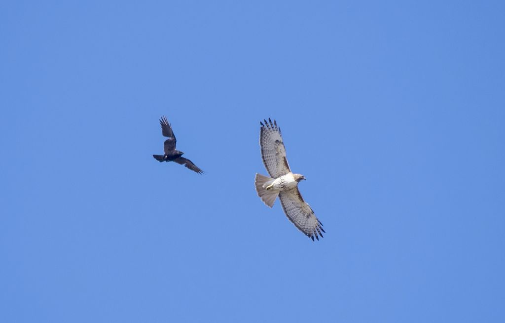 Red-tailed Hawk and American Crow Pentax K-5 + Sigma 150-500@500mm 1/1250sec., ƒ/8.0, ISO 800