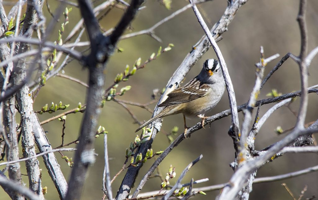 White-crowned Sparrow Pentax K-5 + Sigma 150-500@500mm 1/1000sec., ƒ/8.0, ISO 1000