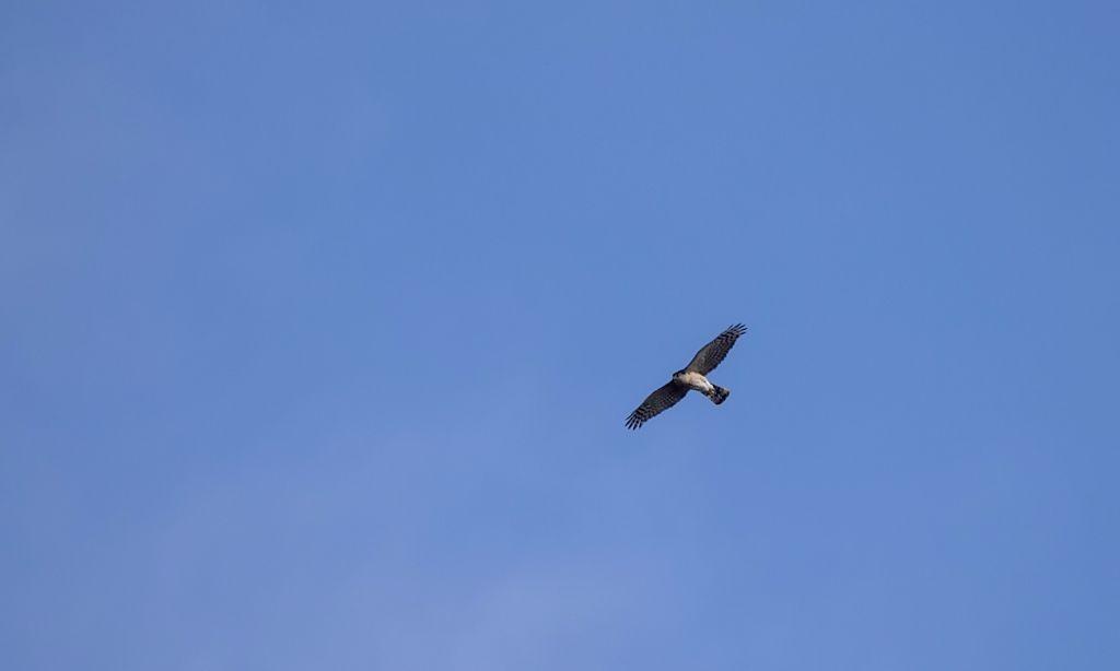 Cooper's Hawk Pentax K-5 + Sigma 150-500@500mm 1/1600sec., ƒ/8.0, ISO 250