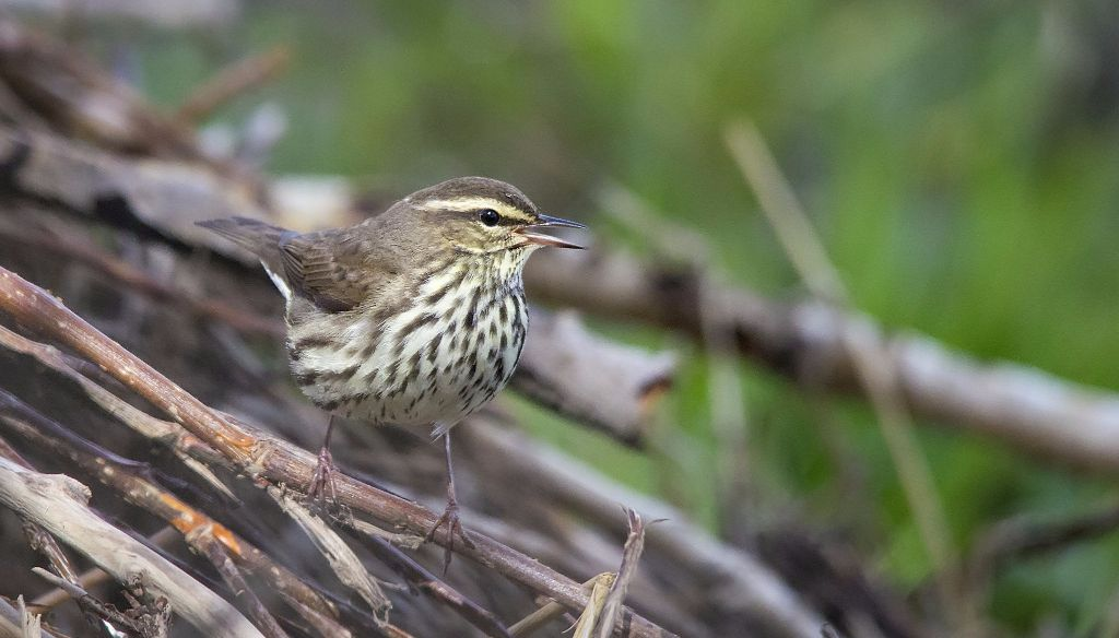 Northern Waterthrush Pentax K-5 + Sigma 150-500@500mm 1/1600sec., ƒ/8.0, ISO 3200