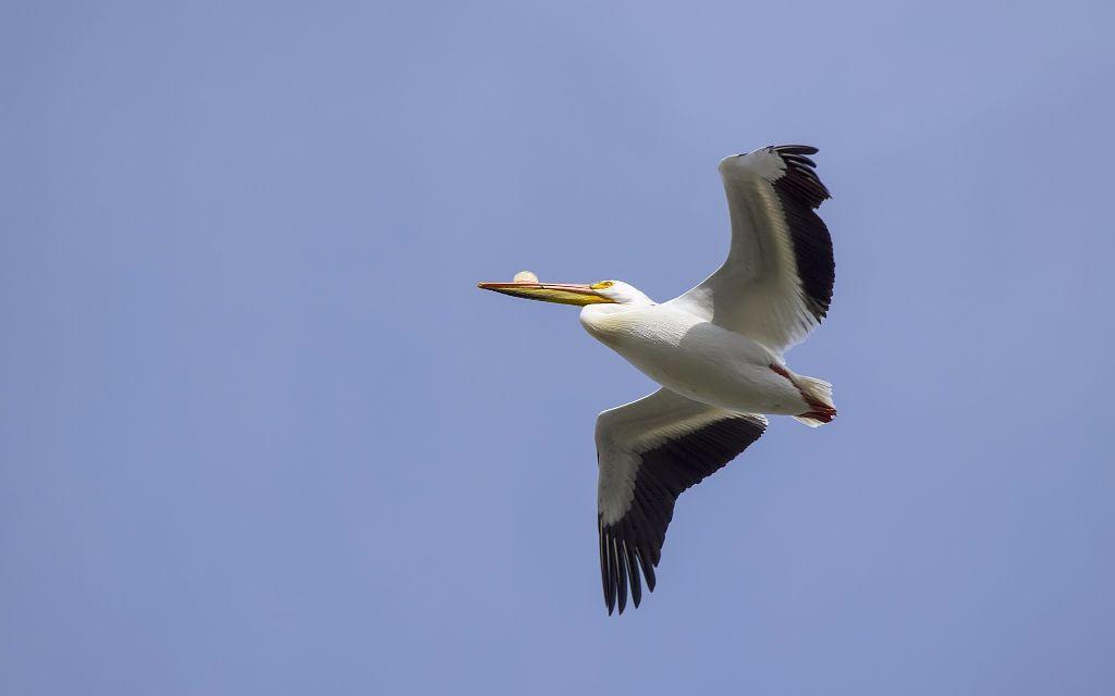 American White Pelican Pentax K-5 + Sigma 150-500@500mm 1/1600sec., ƒ/8.0, ISO 400