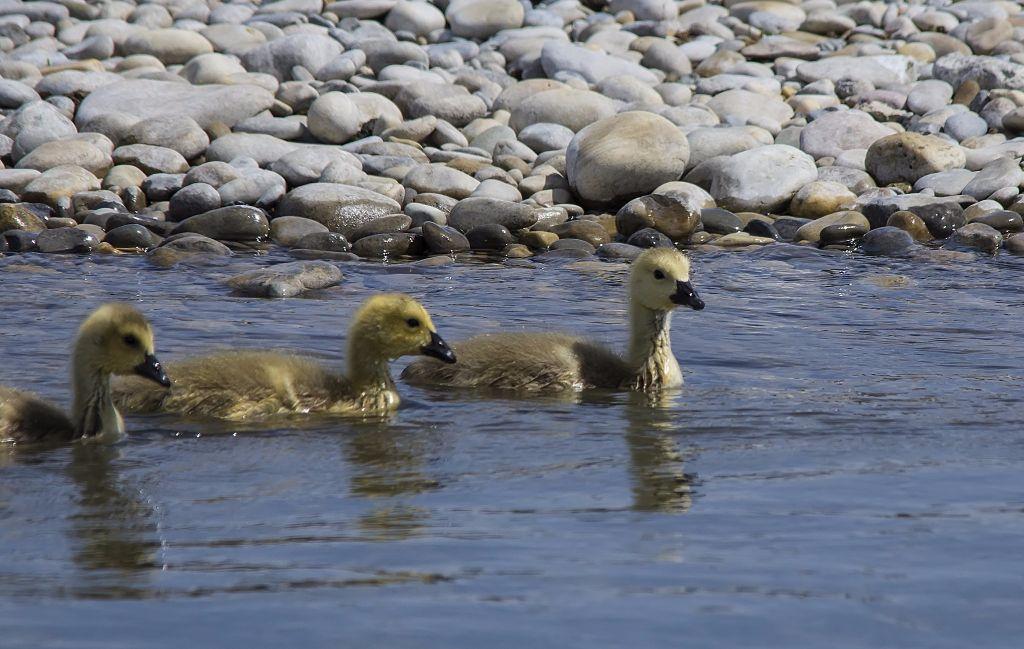 Canada Goose goslings Pentax K-5 + Sigma 150-500@500mm 1/1600sec., ƒ/8.0, ISO 400