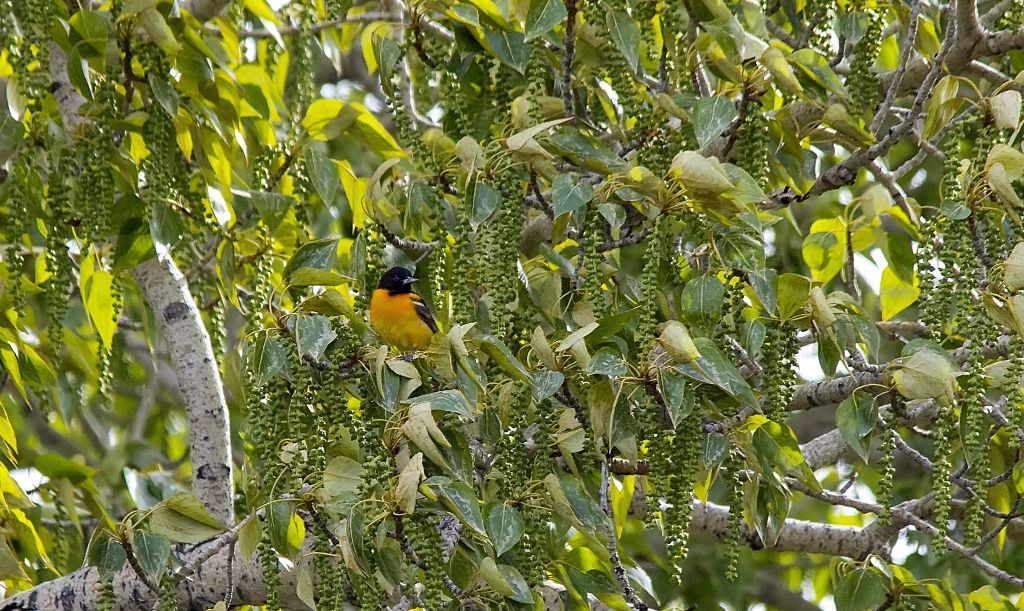 Baltimore Oriole Pentax K-5 + Sigma 150-500@500mm 1/1250sec., ƒ/8.0, ISO 1600