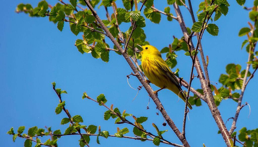 Yellow Warbler Pentax K-5 + Sigma 150-500@500mm 1/1000sec., ƒ/8.0, ISO 1600