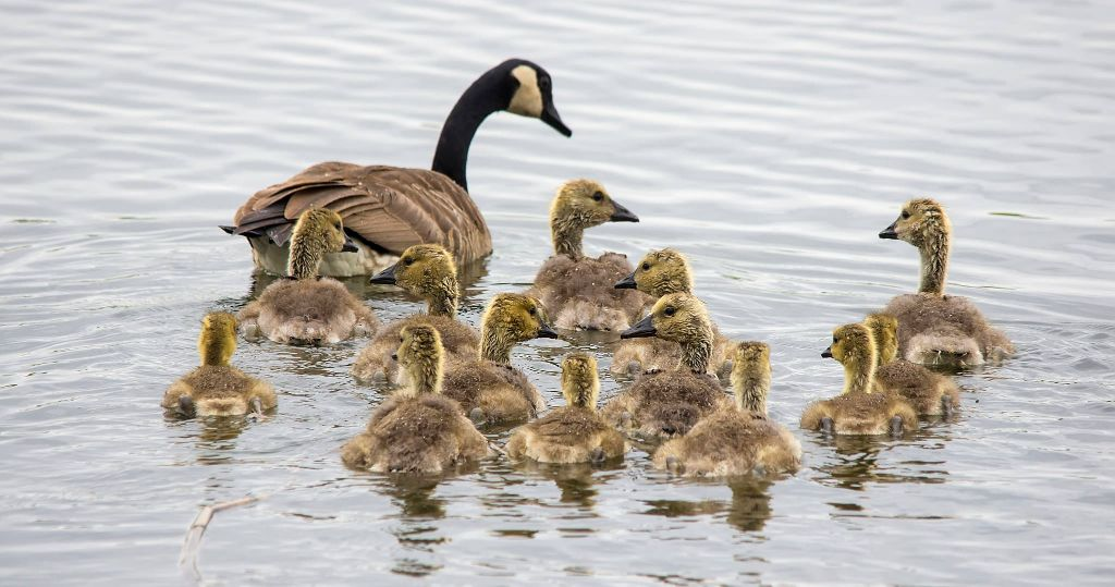 Canada Goose and goslings Pentax K-5 + Sigma 150-500@500mm 1/500sec., ƒ/8.0, ISO 800