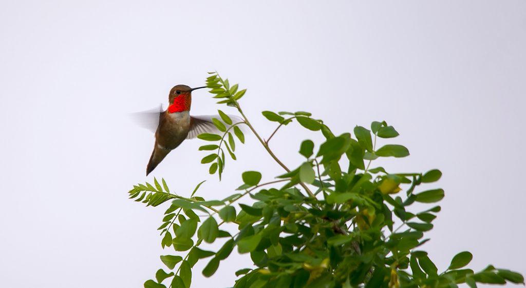 Rufous Hummingbird Pentax K-5 + Sigma 150-500@500mm 1/320sec., ƒ/6.3, ISO 100