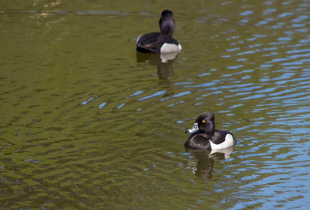Ring-necked Duck Pentax K-5 + Sigma 150-500@500mm 1/640sec., ƒ/8.0, ISO 1250