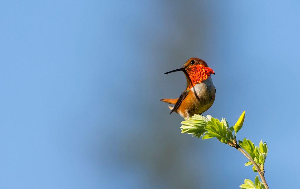 Rufous Hummingbird Pentax K-5 + Sigma 150-500@500mm 1/1250sec., ƒ/8.0, ISO 800