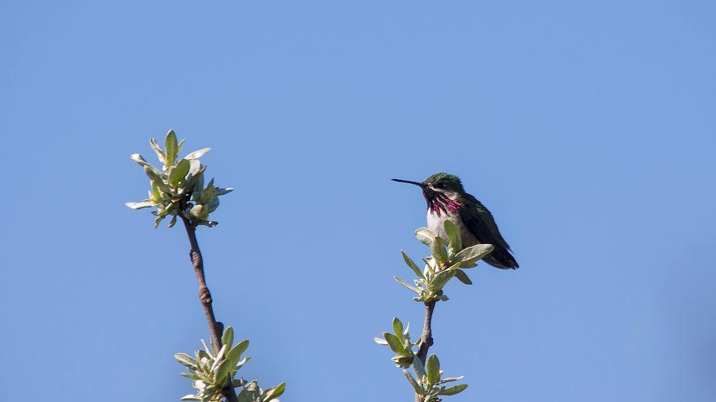 Calliope Hummingbird Pentax K-5 + Sigma 150-500@500mm 1/1250sec., ƒ/9.0, ISO 640