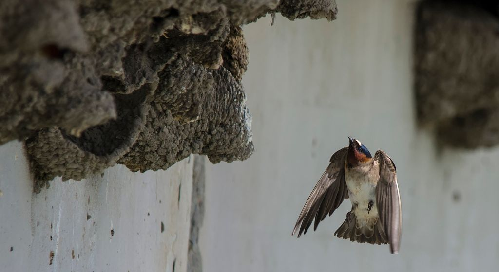 Cliff Swallow Pentax K-5 + Sigma 150-500@500mm 1/2000sec., ƒ/8.0, ISO 1000