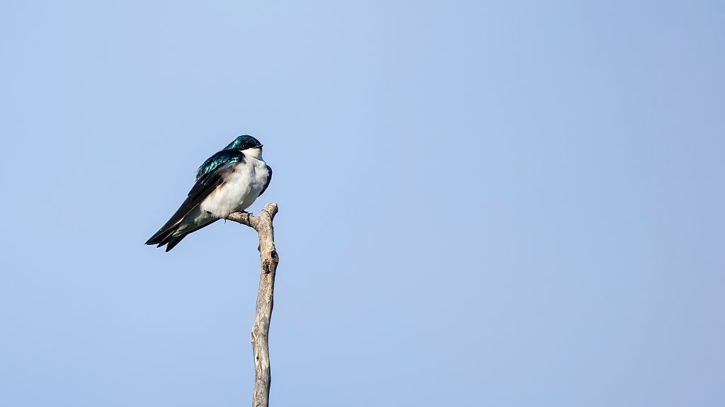 Tree Swallow Pentax K-5 + Sigma 150-500@500mm 1/640sec., ƒ/8.0, ISO 320