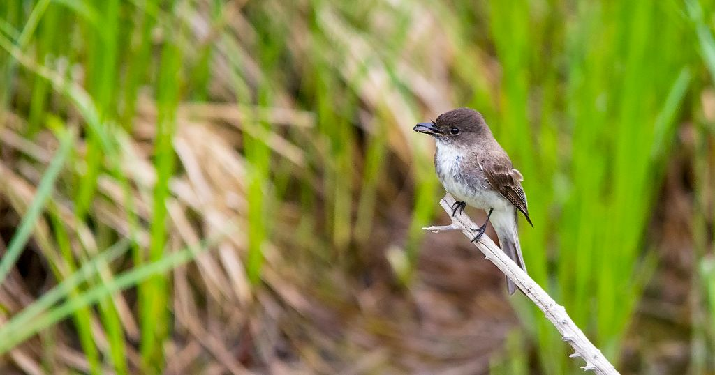 Eastern Phoebe with diving beetle Pentax K-5 + Sigma 150-500@500mm 1/500sec., ƒ/6.3, ISO 1600