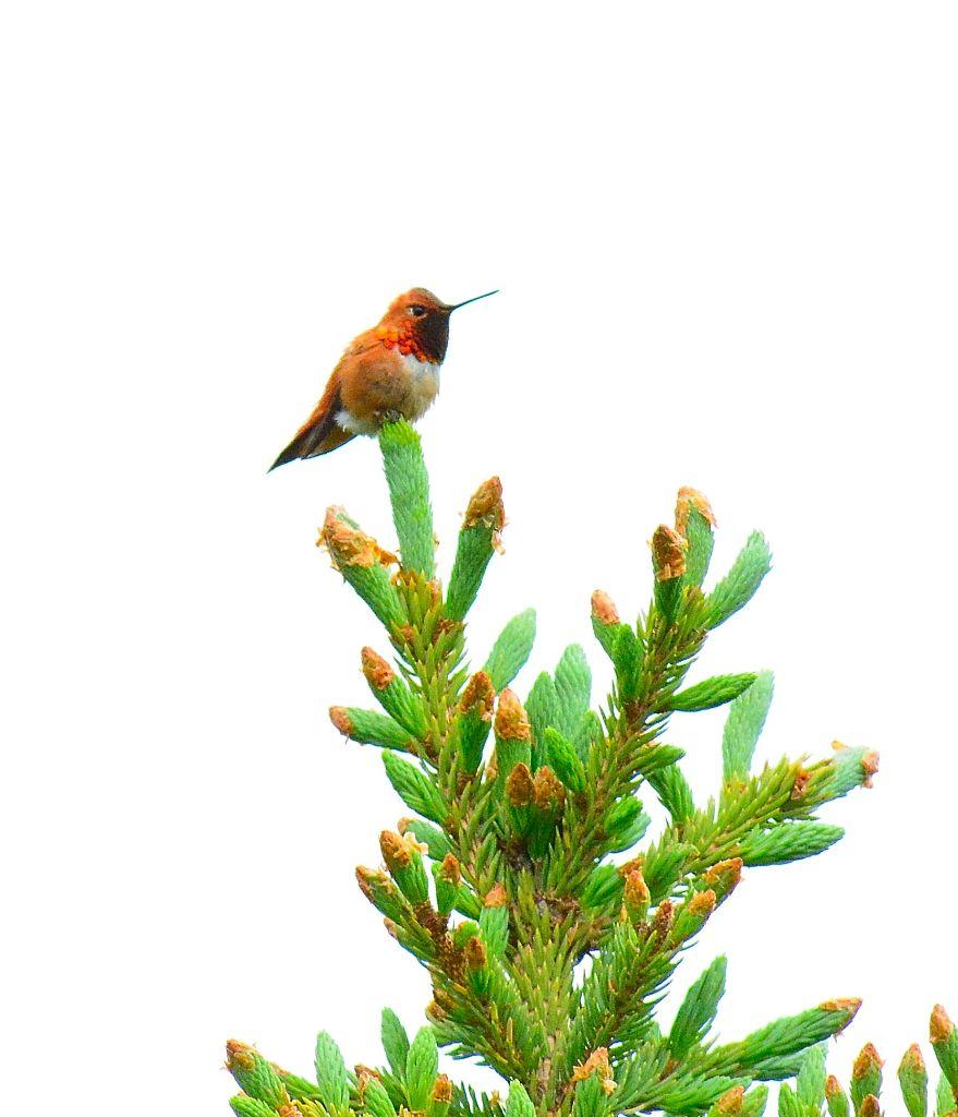Rufous Hummingbird5