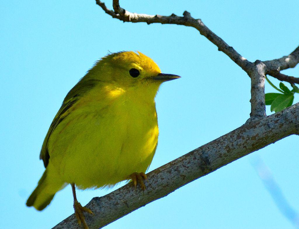 Yellow Warbler1