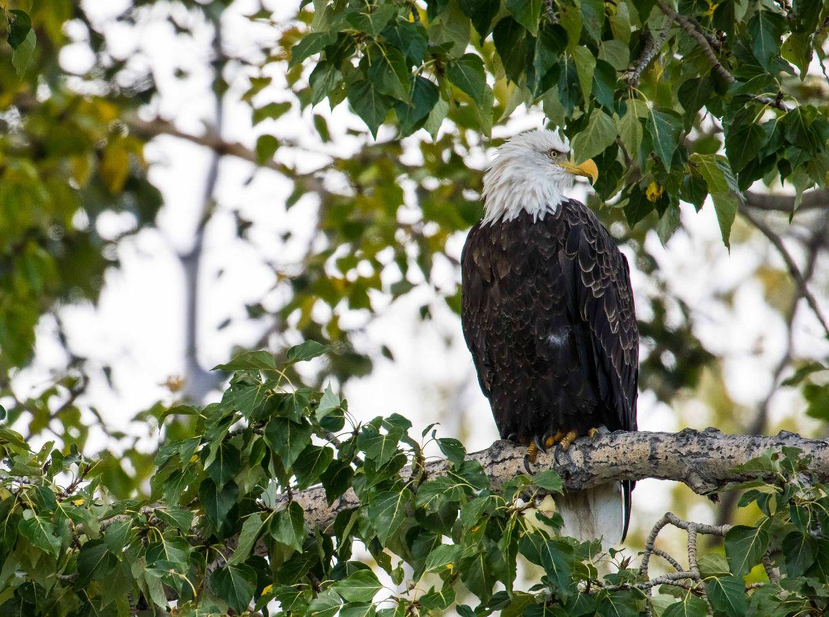 Bald Eagle - close