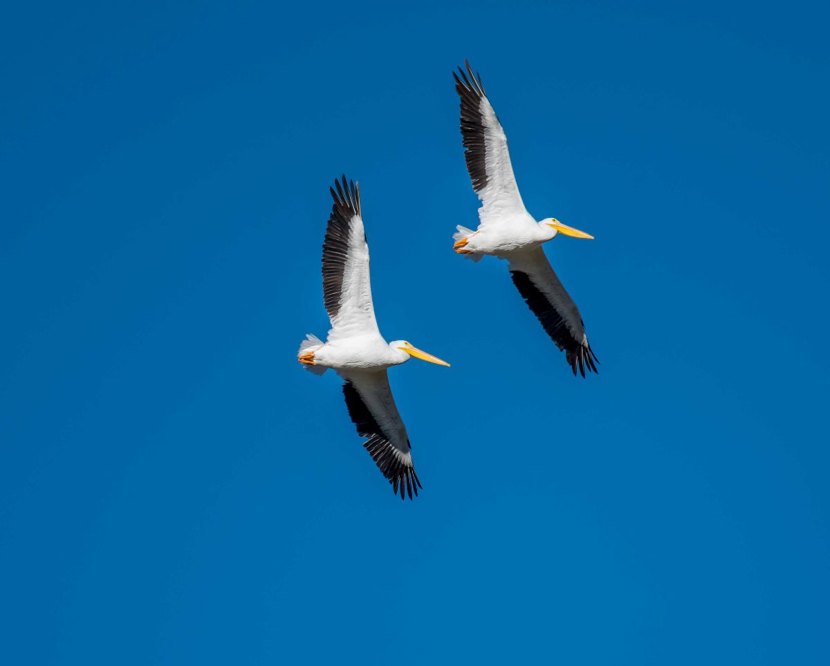 Two American White Pelicans