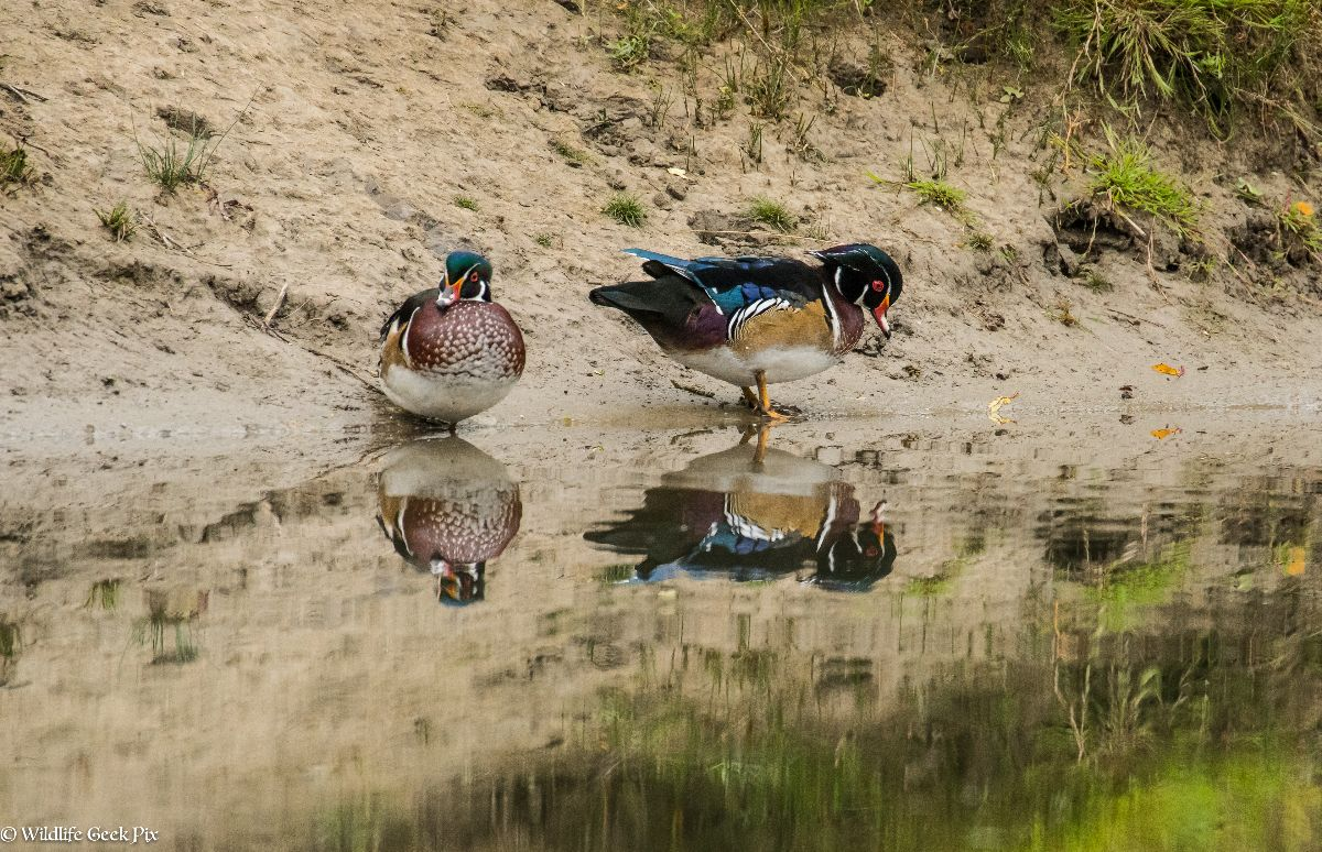 Wood Ducks on bank
