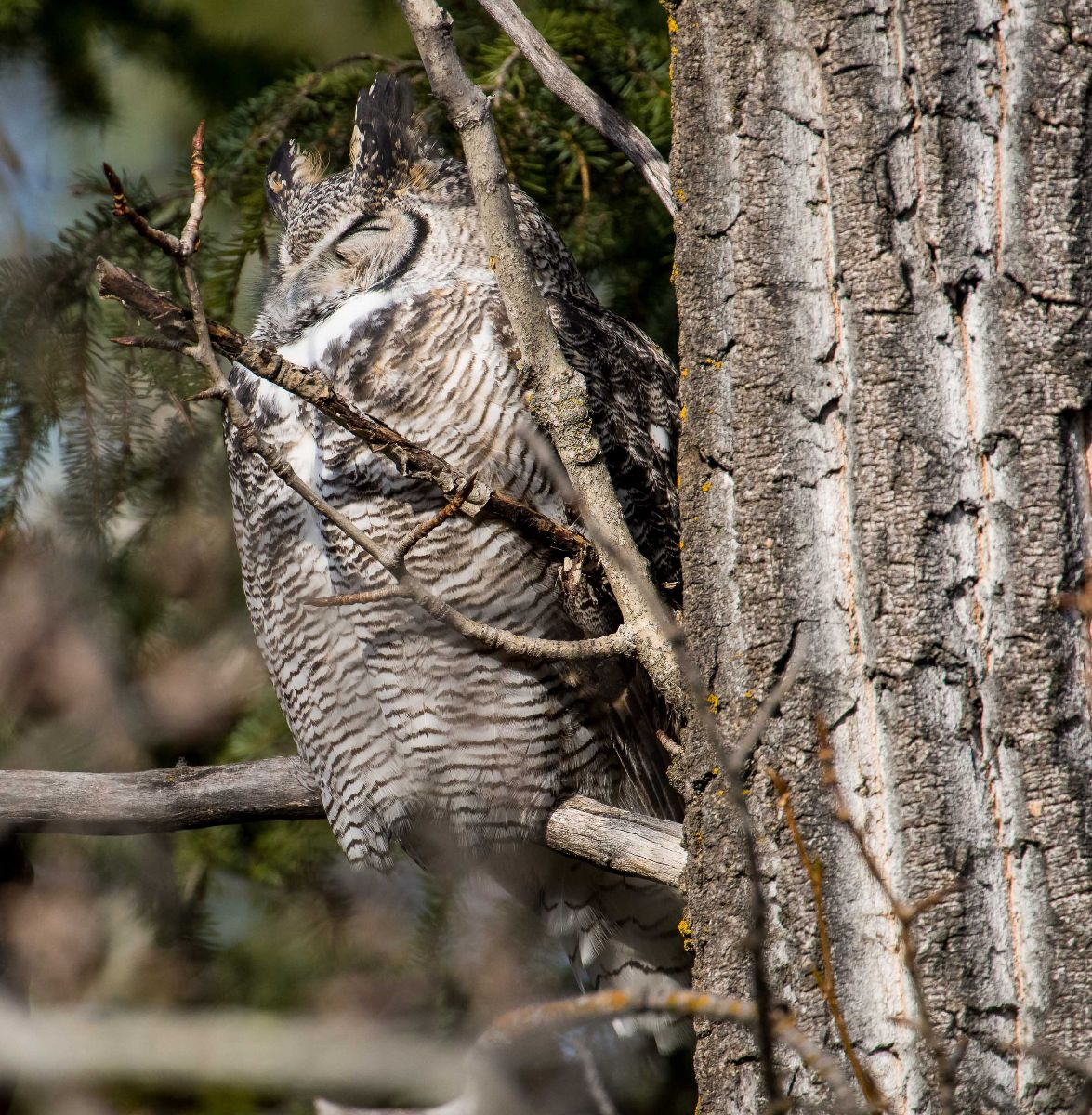 151026 - Great Horned Owl sleeping