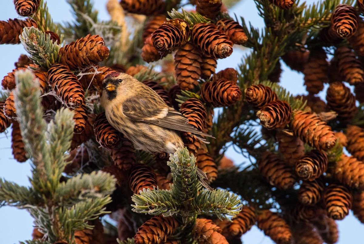 Common Redpoll close up