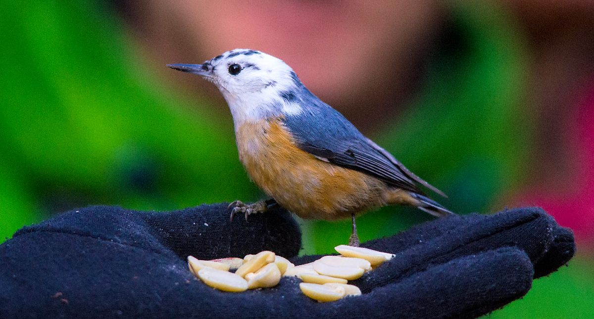 Bob the leucistic Red-breasted Nuthatch