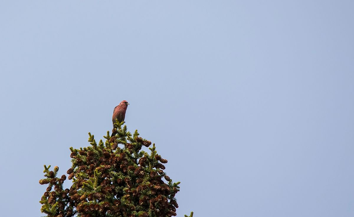 male White-winged Crossbill