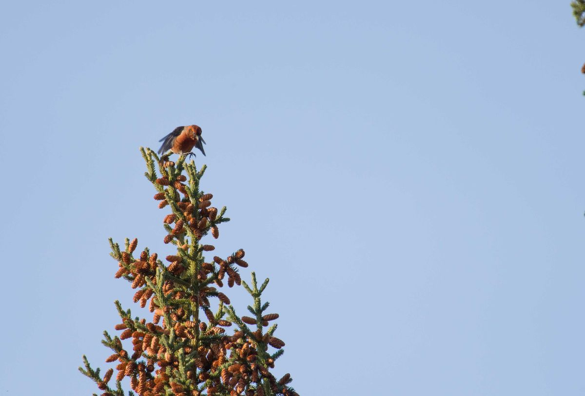 Red Crossbill1