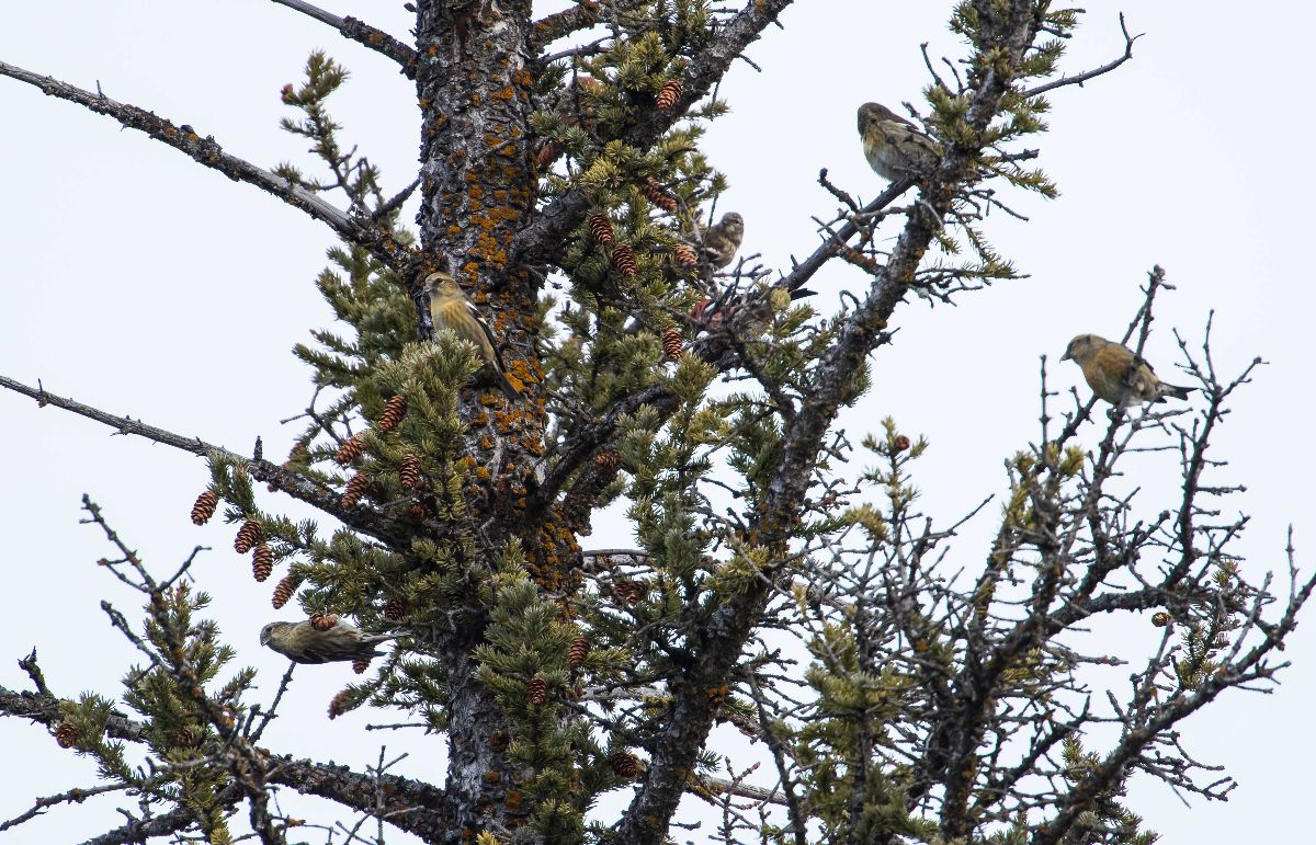 White-winged Crossbills