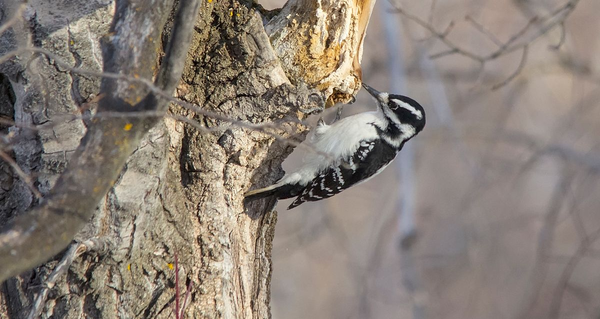 female Hairy Woodpecker