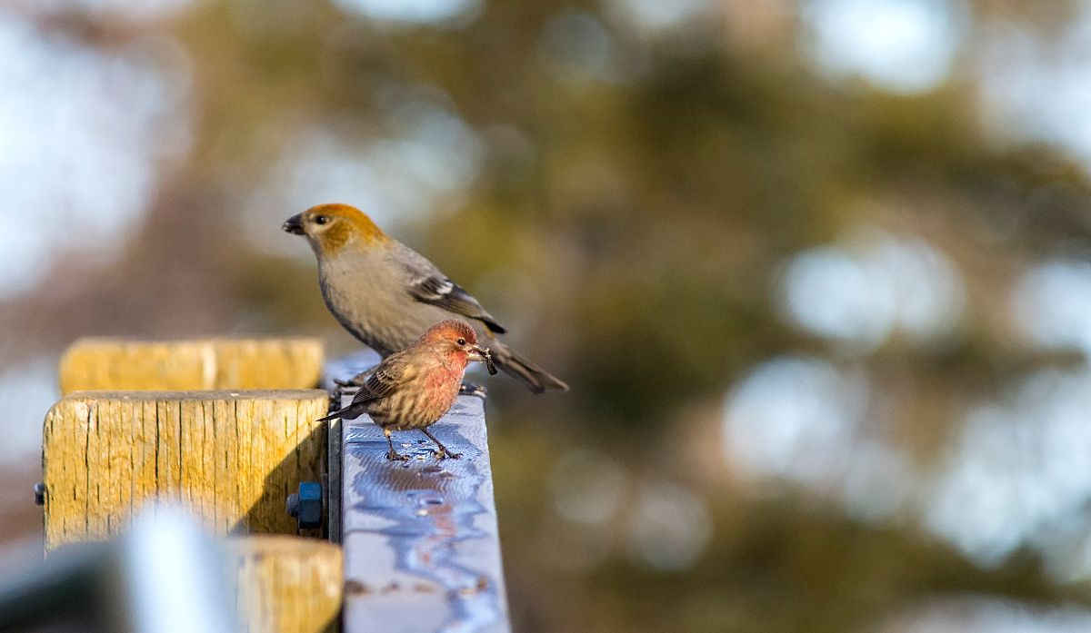 female or juvenile Pine Grosbeak