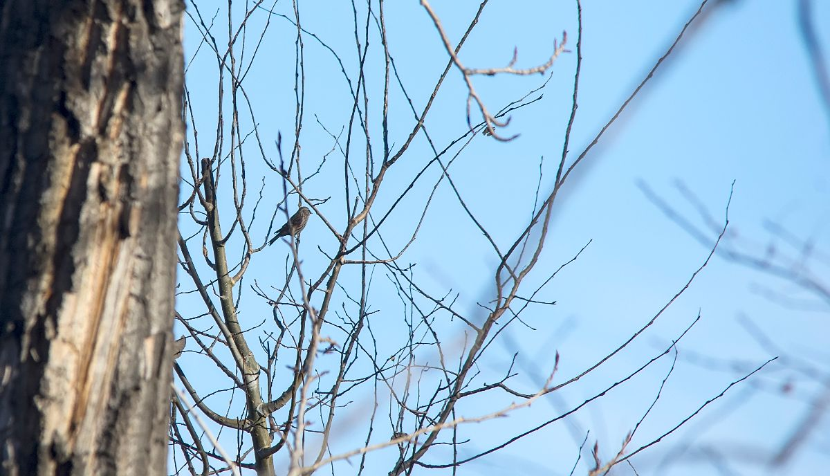 distant Common Redpoll