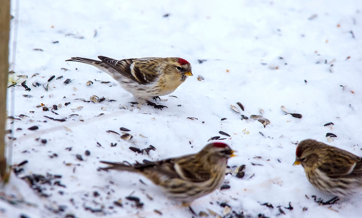 Hoary (top) and Common (bottom) Redpolls