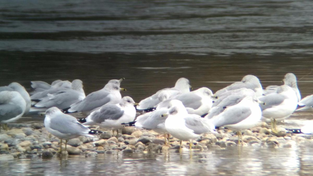 Mew Gull and Ring-billed Gulls