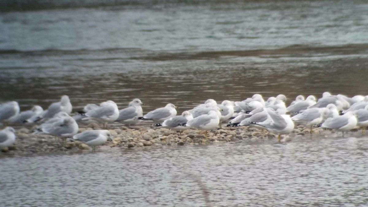 Mew Gull among Ring-billed Gulls