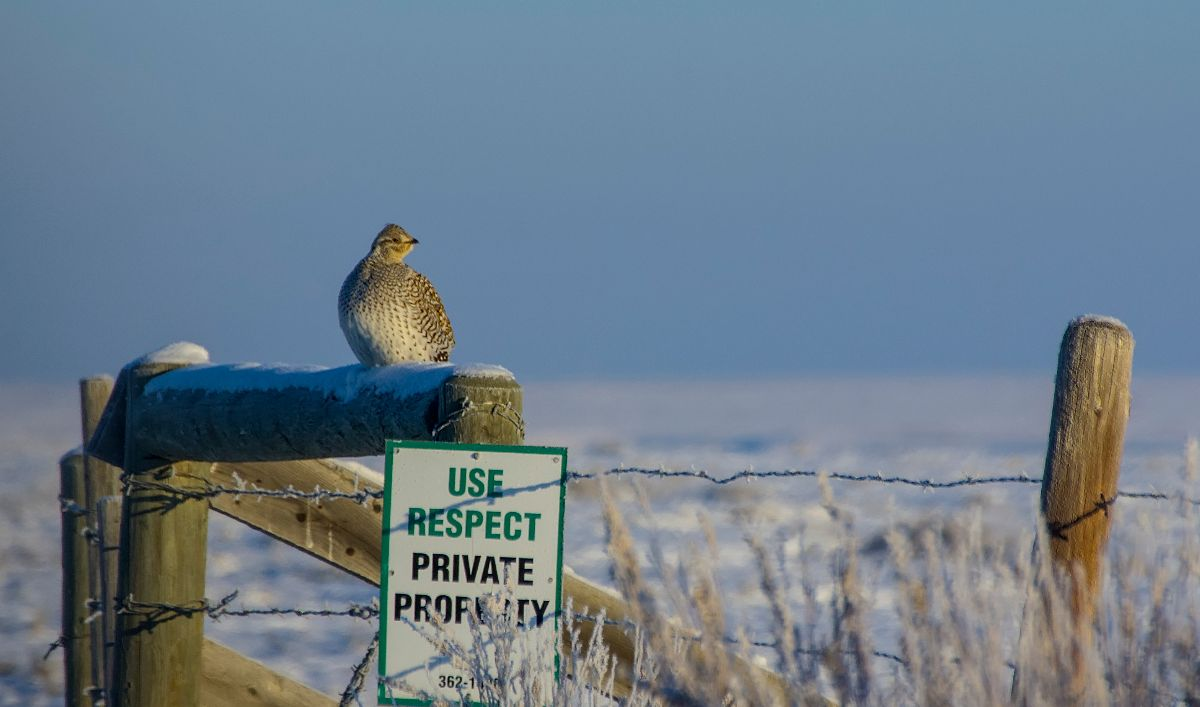 Sharp-tailed Grouse, east of Patricia - December 30, 2015