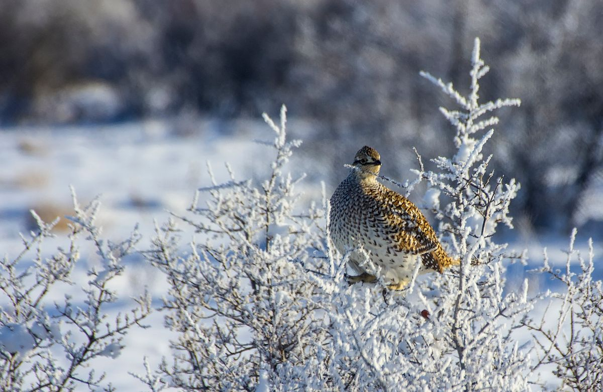 Sharp-tailed Grouse, east of Steveville - December 30, 2015