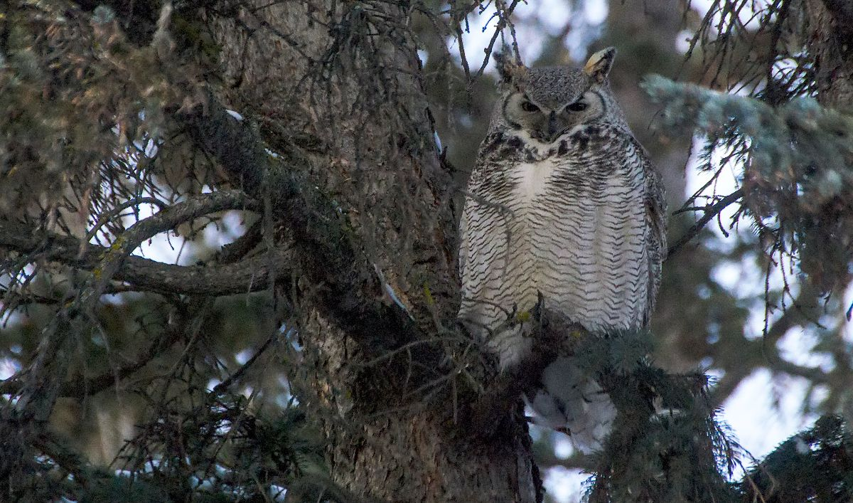 Great Horned Owl - Fish Creek Provincial Park - January 1, 2016